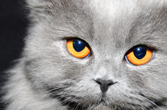 Portrait of a british cat Stock Photography