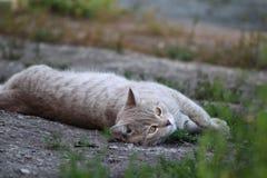 Portrait of a British cat stock images