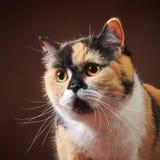 Portrait of british cat Stock Photos