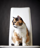 Portrait of british cat Royalty Free Stock Photo