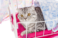 Portrait of british cat in doll bed Stock Photo