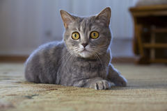 Portrait of a British cat lying on the floor Stock Photo
