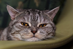 Portrait of a British cat. British cat lying on the sofa Stock Images