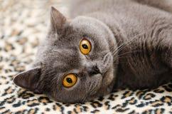 Portrait of british cat royalty free stock image