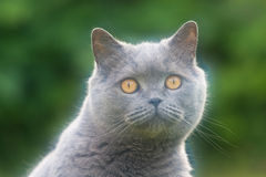 Portrait of British cat. Pictured at the British breed cat Stock Photos