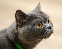 Portrait of british cat stock photo