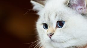 British Cat white color with blue eyes stock photo