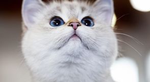 British Cat white color with blue eyes stock images