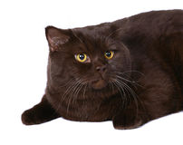 Portrait of the British chocolate cat. Stock Images