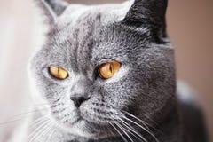 Portrait of British gray cat Royalty Free Stock Photos