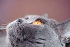 Portrait of British gray cat Stock Photos