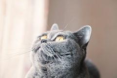 Portrait of British gray cat with yellow eyes Stock Image