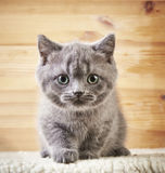 Portrait of british kitten Stock Images