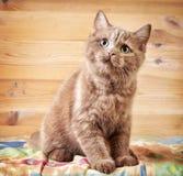 Portrait of british kitten Stock Image