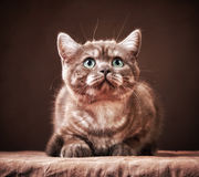 Portrait of british kitten Royalty Free Stock Image