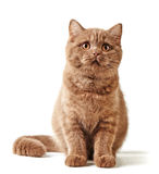 Portrait of british kitten Royalty Free Stock Images