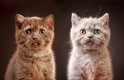 Portrait of british kittens Royalty Free Stock Image