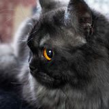 Portrait of british longhair cat Royalty Free Stock Image