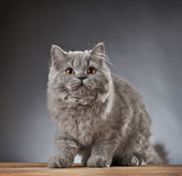 Portrait of british longhair kitten Royalty Free Stock Photos