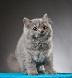 Portrait of british longhair kitten Stock Photos