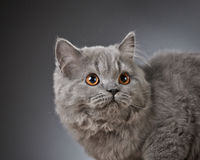 Portrait of british longhair kitten Royalty Free Stock Photo