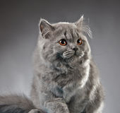 Portrait of british longhair kitten Royalty Free Stock Photo