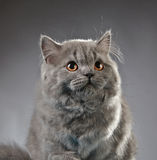 Portrait of british longhair kitten Royalty Free Stock Photography