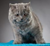 Portrait of british longhair kitten Stock Photography