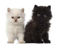Portrait of British Longhair Kitten sitting Royalty Free Stock Photos