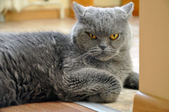 Portrait of British Short hair blue cat. Angry face, a recumbent pose, bent foot Stock Photo