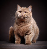 Portrait of british short hair cat Royalty Free Stock Photos