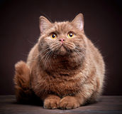 Portrait of british short hair cat Royalty Free Stock Photo