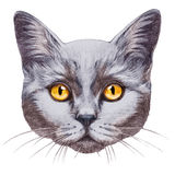 Portrait of British Shorthair Cat. Stock Image
