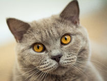 Portrait of a British Shorthair Cat Royalty Free Stock Photo