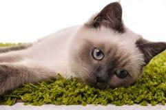 Portrait of British Shorthair cat Stock Photography