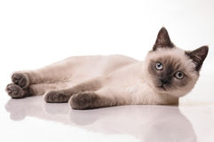 Portrait of British Shorthair cat Royalty Free Stock Photography