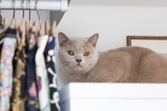 British shorthair cats at house. Portrait of british shorthair cats in various rooms of the house. Big yellow eyes Royalty Free Stock Image