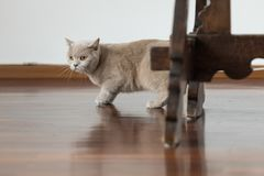 British shorthair cats at house. Portrait of british shorthair cats in various rooms of the house. Big yellow eyes Royalty Free Stock Images