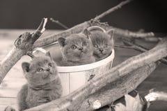Portrait of British Shorthair kitten among branches