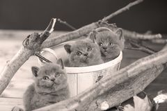 Portrait of British Shorthair kitten among branches. British Shorthair kitten in a basket among branches of tree, tree trunk Royalty Free Stock Images