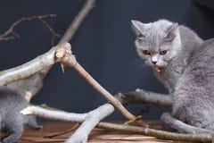 Portrait of British Shorthair kitten climbing on branches. British Shorthair kittens climbing on branches of tree, tree trunk, autumn leaves Stock Photos