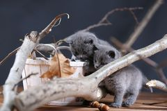Portrait of British Shorthair kitten climbing on branches. British Shorthair kittens climbing on branches of tree, tree trunk, autumn leaves Royalty Free Stock Photography