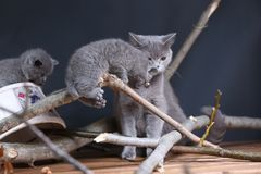 Portrait of British Shorthair kitten climbing on branches. British Shorthair kittens climbing on branches of tree, tree trunk, autumn leaves Royalty Free Stock Images
