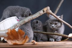 Portrait of British Shorthair kitten climbing on branches. British Shorthair kittens climbing on branches of tree, tree trunk, autumn leaves Stock Image