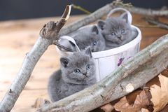 Portrait of British Shorthair kitten playing among branches. British Shorthair kittens climbing on branches of tree, tree trunk Royalty Free Stock Image