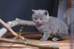 Portrait of British Shorthair kitten playing among branches. British Shorthair kittens climbing on branches of tree, tree trunk Stock Photos