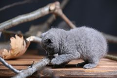 Portrait of British Shorthair kitten playing among branches. British Shorthair kittens climbing on branches of tree, tree trunk Royalty Free Stock Photography
