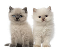 Portrait of British Shorthair Kitten sitting Stock Images