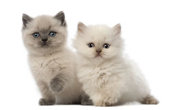 Portrait of British Shorthair Kitten sitting Stock Image