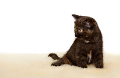 Portrait of British Shorthair Kitten sitting, black tortie color. Royalty Free Stock Photography